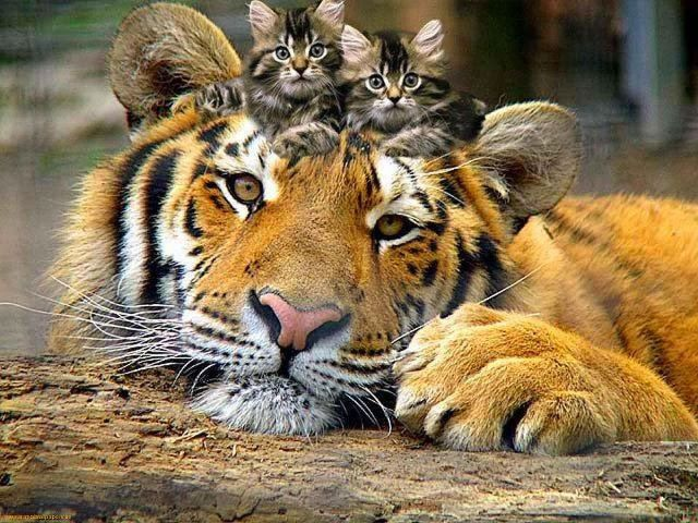 Tiger with kitten