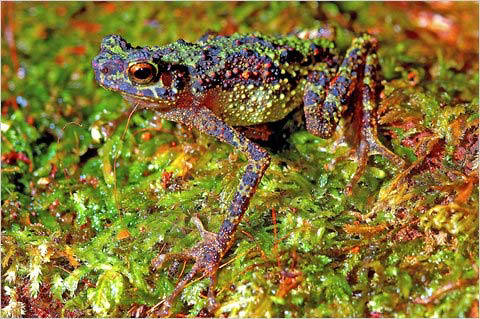 Adult Female Borneo Rainbow Toad Photograph-Found in Asia NYTimes July 15, 2011